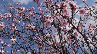 Bahar yüzünü gösterdi, badem ağaçları erken çiçek açtı
