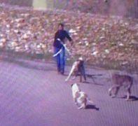 Kangal cinsi köpeği çalan hırsız güvenlik kamerasına takıldı