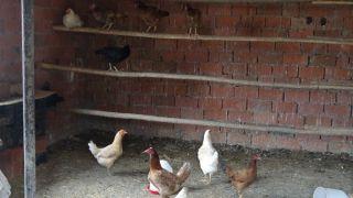Kendi imkanlarıyla organik tavuk çiftliği kurdu