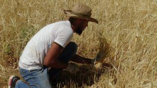 Biçerdöverlerin giremediği arazide ekinleri orakla biçtiler