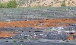 Sason'da çilek tarlalarına giren domuz sürüsü ekinlere zarar verdi