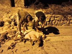 Gercüş'te koyun kırkma dönemi başladı