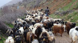 Gercüş'te kurtlar keçi sürüsüne saldırdı