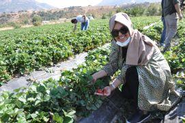 Çilek üretimi Güneydoğu'nun geneline yayılıyor