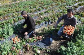 Sason'da yılın son çilek hasadı başladı