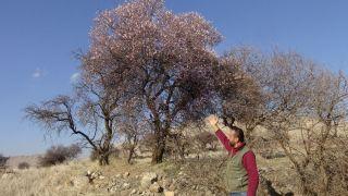 İklim değişikliğinin en büyük örneği Batman'da gerçekleşti: Badem ağaçları kış ortasında çiçek açtı