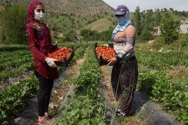 Devlet destek sağladı, çilek tarlaları kadınlara iş kapısı oldu