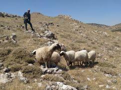 Gercüş'te kayıp koyunlar, sosyal medya sayesinde sahibine ulaştırıldı