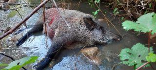 Gercüş'te domuzlar köylülerin kabusu oldu