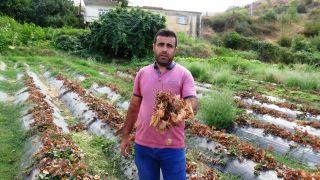 Güneydoğu'da yaşanan kuraklık, çilek ve böğürtlen üreticisini zor duruma soktu